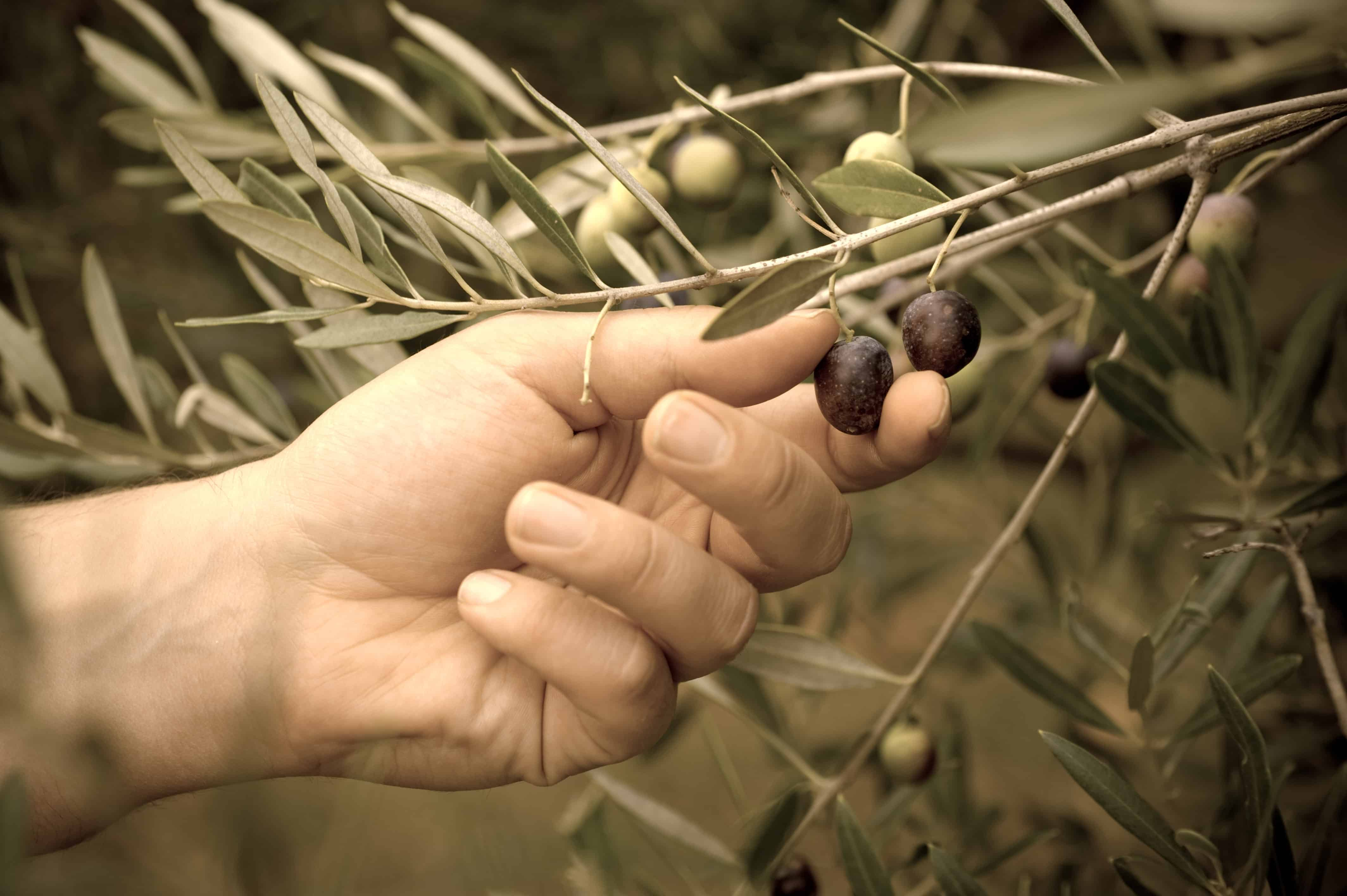 Picking Olives by Hand, Sardo Foods was built on Sustainability and Tradition